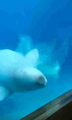 Beluga whale hitting his head against the tank