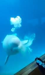 Beluga whale regurgitating food inside tank