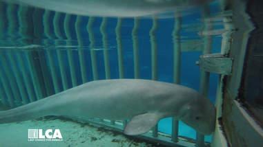 Sickly beluga whale inside tank