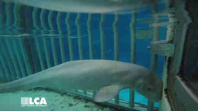 Sickly beluga whale inside tank