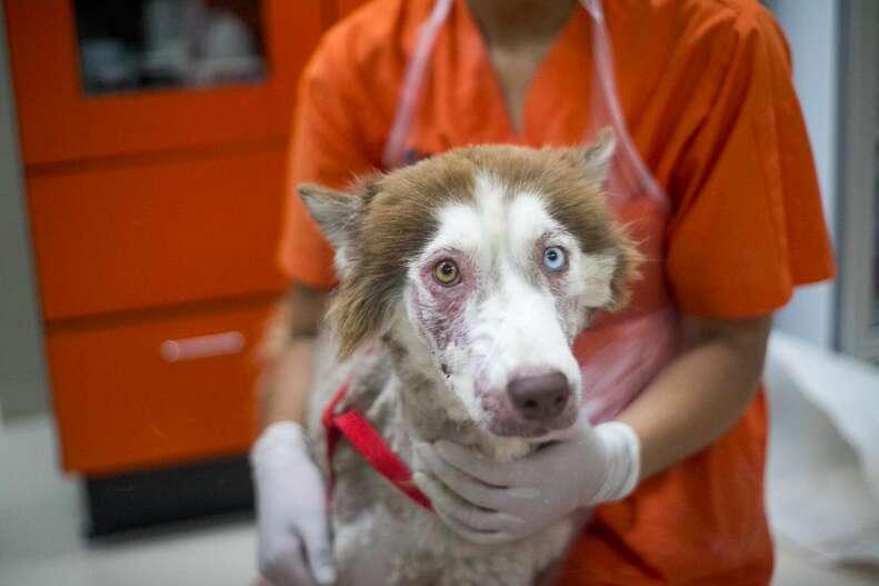 Husky with bad case of mange
