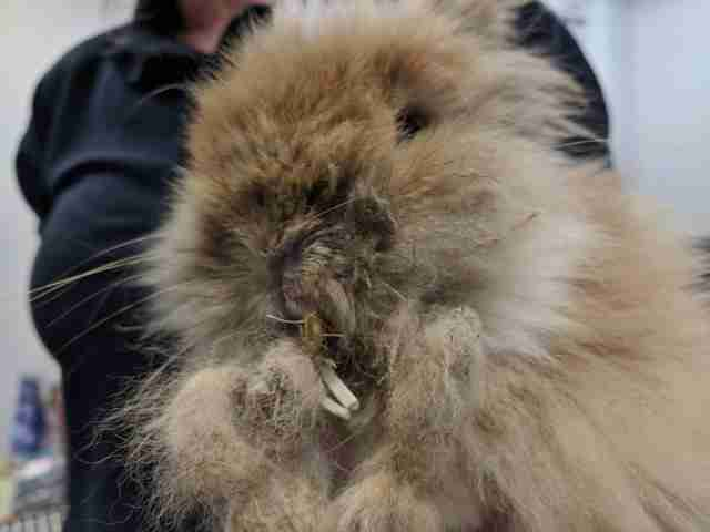 neglected rabbit with overgrown teeth