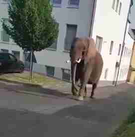 Circus elephant wandering through German town