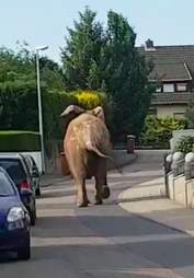 African elephant wandering through town in Germany
