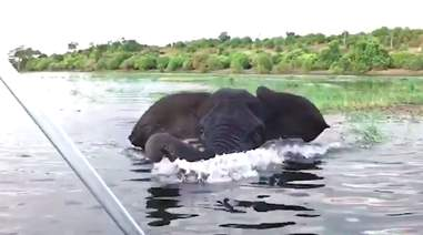 Swimming African elephant charges boat full of tourists