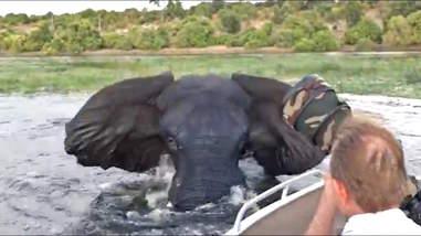 Wild elephant in Botswana charges boat