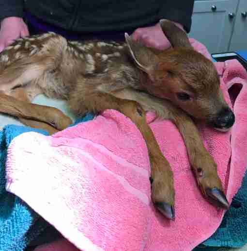 fawn baby deer rescue