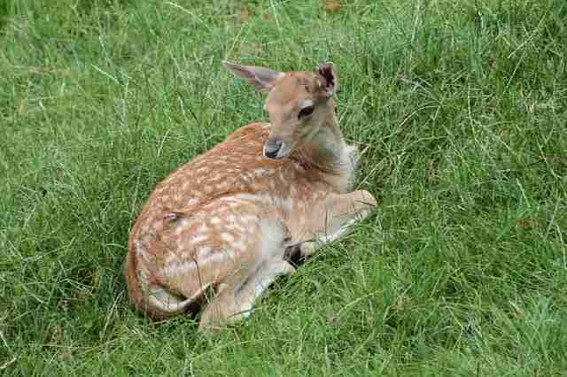 fawn rescue deer spring