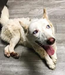 Lucky the rescue husky smiles