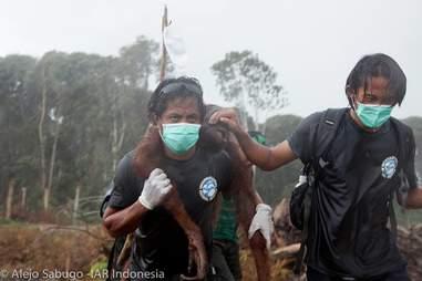 indonesia orangutan rescue