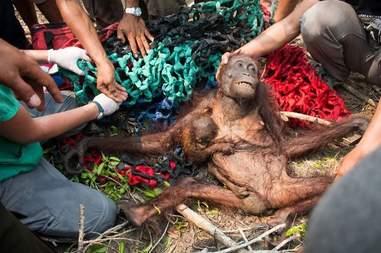 orangutan rescue indonesia