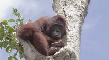 orangutan stranded tree rescue