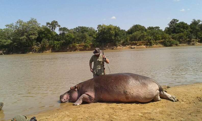 Trophy hunter standing over hippo's body