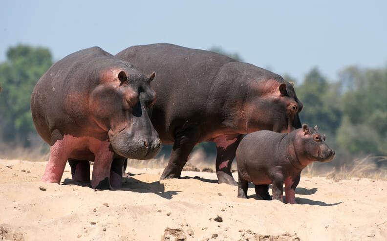 Hippo family in Zambia, Africa