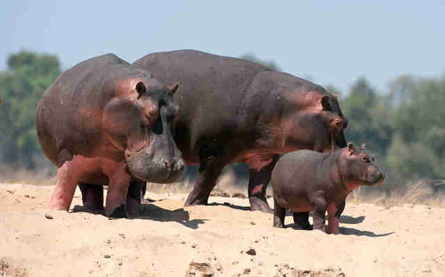 Hippo family in Zambia, Africa