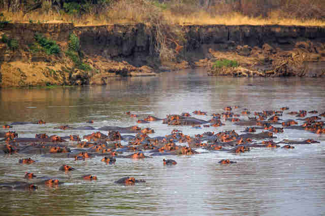 Hippos in Zambia