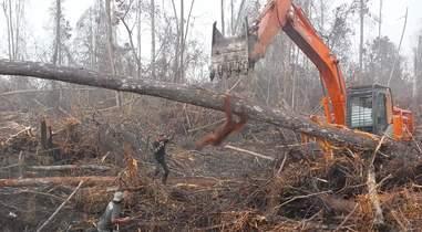 orangutan bulldozer indonesia