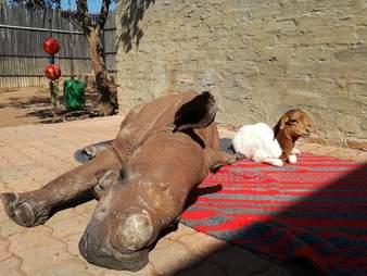 Orphaned rhino and his lamb friend