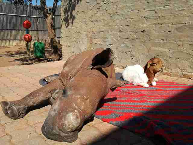 Orphaned rhino and his lamb friend