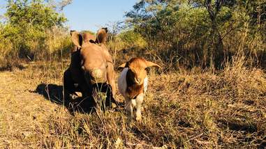 Baby rhino and lamb friend in South Africa