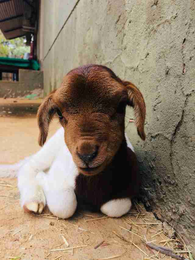 Little lamb who lost her mom in South Africa