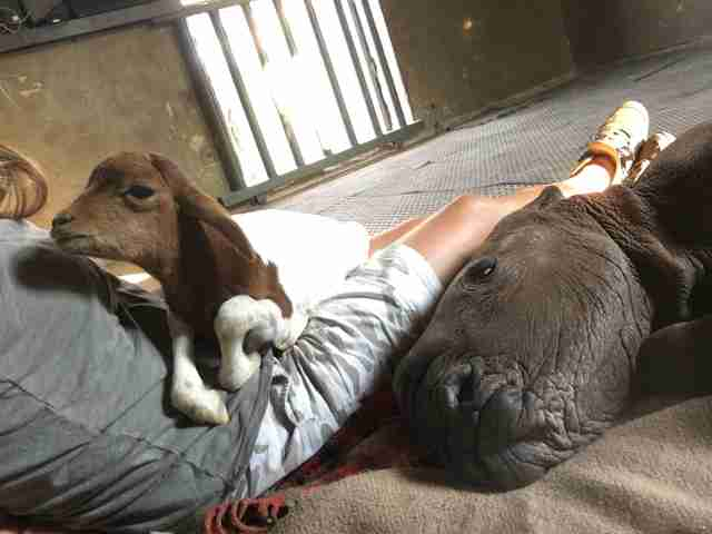 Orphaned rhino and lamb bond at South Africa sanctuary