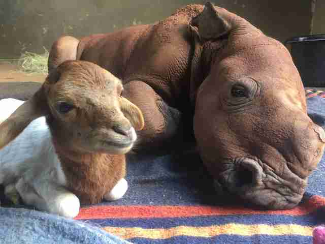 Lamb with orphaned rhino at sanctuary