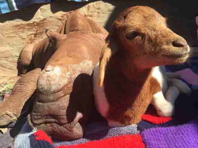 Orphaned rhino and lamb friend at orphanage in South Africa