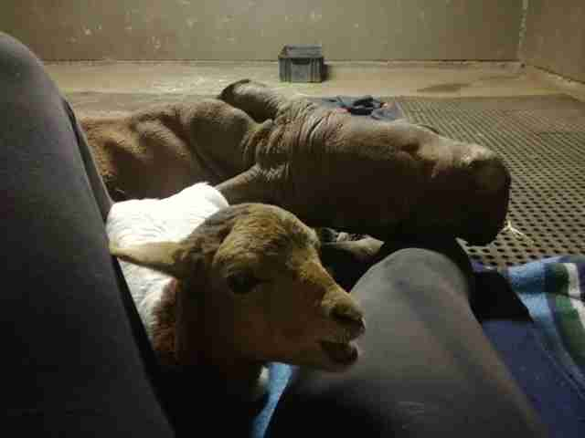 Orphaned rhino with his lamb friend at South Africa sanctuary