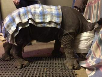 Rhino orphaned by poachers in South Africa