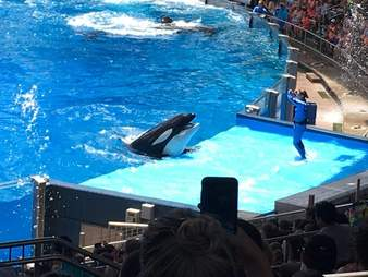 Captive orca performing in a show