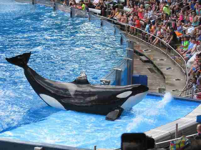 Captive orca with injured dorsal fin being forced to perfom