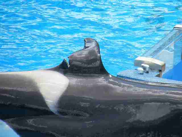 Captive orca with injured dorsal fin