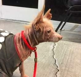 bald mystery dog