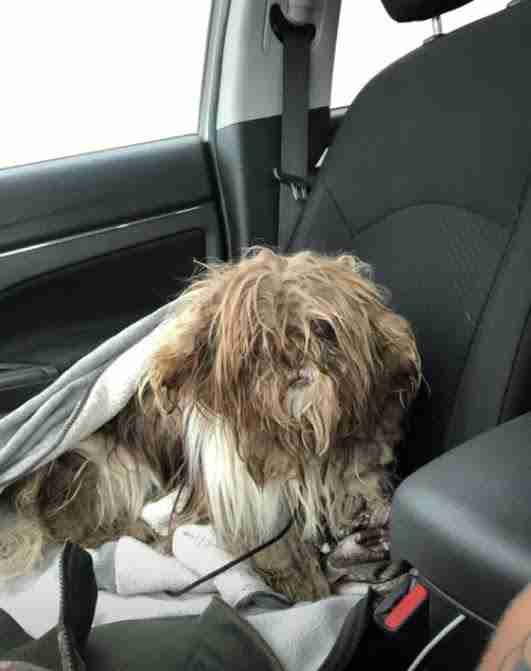 Shih Tzu with matted fur sitting on front seat of car
