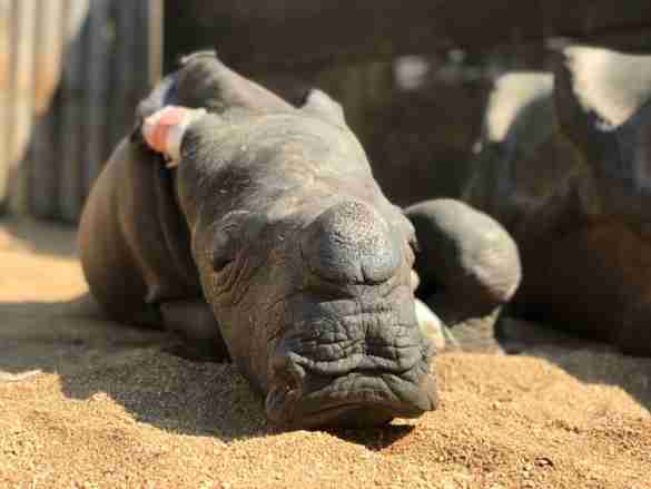 Baby rhino saved from poachers