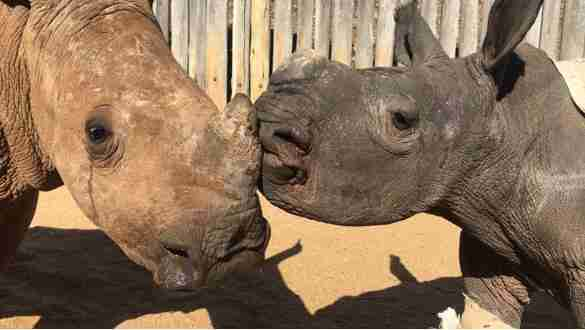 Orphaned rhinos kiss at sanctuary