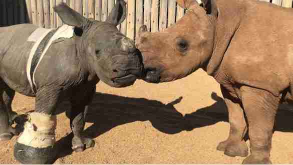 Orphaned rhinos kiss at South Africa sanctuary