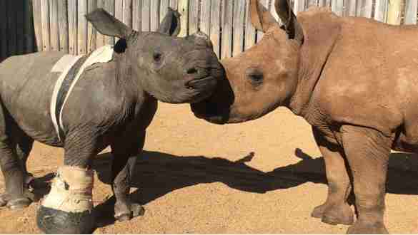 Orphaned rhinos meet at sanctuary