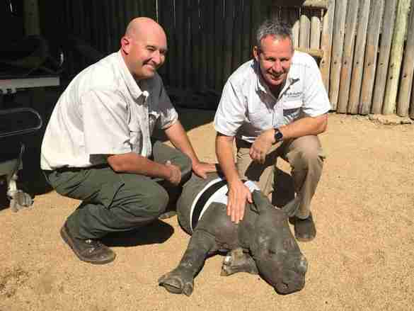 Baby rhino with rescuers