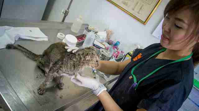 Vet helping sick cat