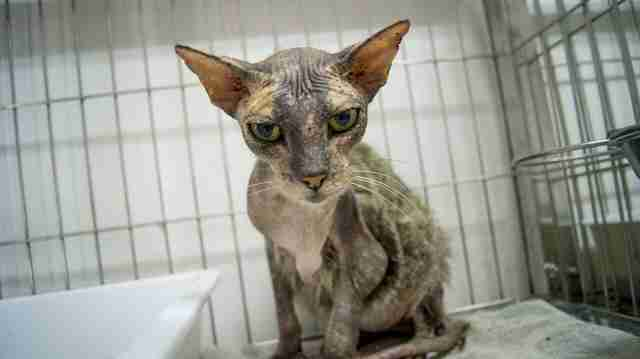 Cat with skin condition at vet clinic