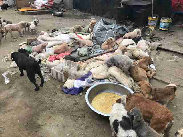 dog rescue slaughter china