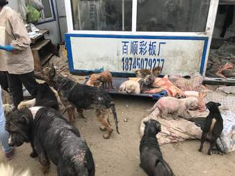 chihuahua dog meat rescue