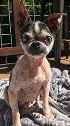 chihuahua rescue china meat