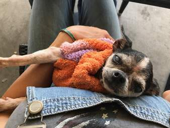 chihuahua meat dog rescue china