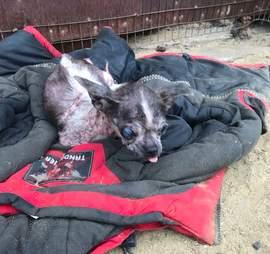senior chihuahua rescue meat farm