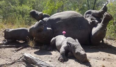 Baby rhino beside his mom's poached body