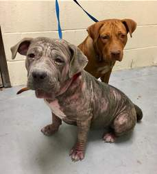 Sylvia the pit bull in a high-kill shelter