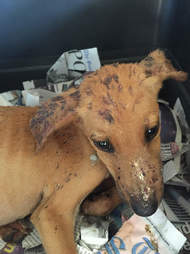 dog rescue jamaica